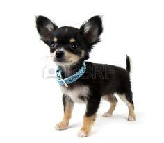 Rosetta The Chihuahua