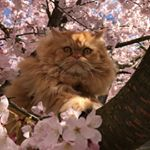 Percy the Persian